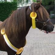 Un beau poney shetland