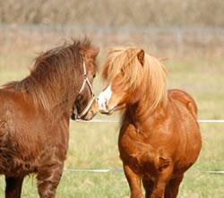 Plusieurs poneys au près