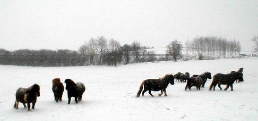 Juments dans la neige