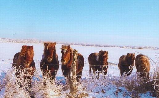 Les poulains dans la neige