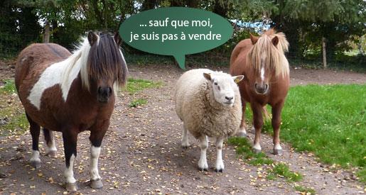 Humour avec un mouton